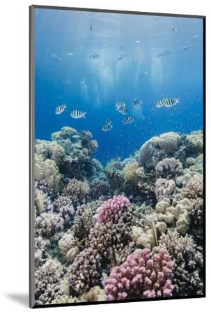 Hard Coral and Tropical Reef Scene, Ras Mohammed Nat'l Pk, Off Sharm El Sheikh, Egypt, North Africa-Mark Doherty-Mounted Photographic Print