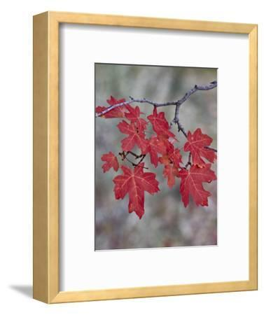 Red Leaves on a Big Tooth Maple Branch in the Fall-James Hager-Framed Photographic Print