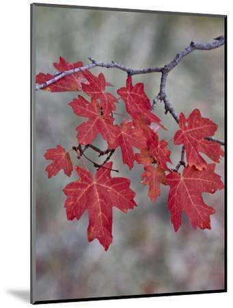 Red Leaves on a Big Tooth Maple Branch in the Fall-James Hager-Mounted Photographic Print