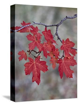 Red Leaves on a Big Tooth Maple Branch in the Fall-James Hager-Stretched Canvas Print