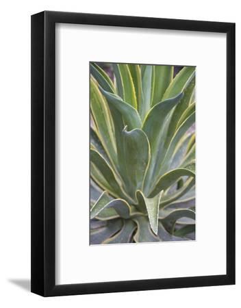 Agave Desmettiana Varigata Jacobi-Martin Child-Framed Photographic Print