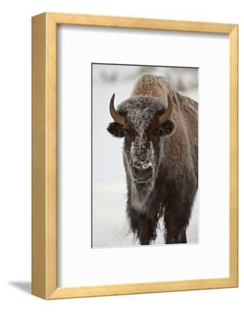 Bison (Bison Bison) Cow in the Winter-James Hager-Framed Photographic Print