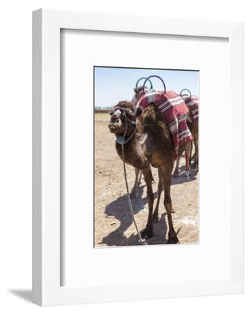 A Camel Just Outside of Marrakesh, Morocco, North Africa, Africa-Charlie Harding-Framed Photographic Print