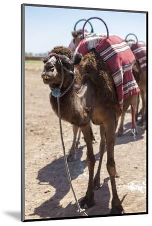 A Camel Just Outside of Marrakesh, Morocco, North Africa, Africa-Charlie Harding-Mounted Photographic Print