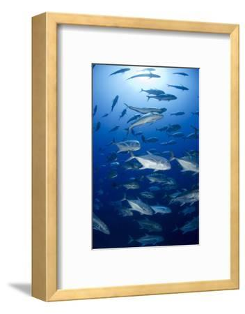 Giant Trevally (Caranx Ignobilis) Shoal Schooling-Mark Doherty-Framed Photographic Print