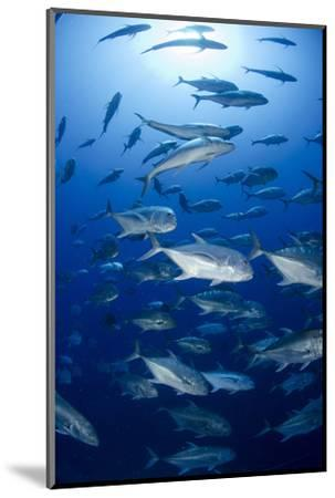 Giant Trevally (Caranx Ignobilis) Shoal Schooling-Mark Doherty-Mounted Photographic Print