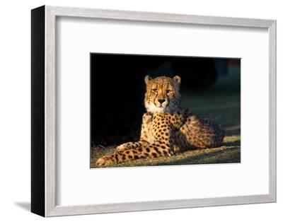 Regal Cheetah Basking in the Afternoon Sun at Umkondo Cheetah Rehabilitation Centre Near Mosselbay-Fiona Ayerst-Framed Photographic Print