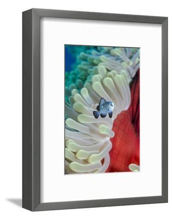 Three-Spot Damsel Fish (Dascyllus Trimaculatus)-Mark Doherty-Framed Photographic Print