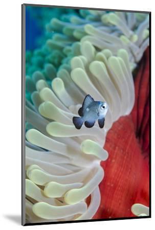 Three-Spot Damsel Fish (Dascyllus Trimaculatus)-Mark Doherty-Mounted Photographic Print