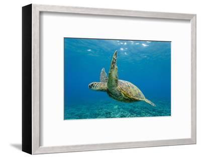 Green Sea Turtle (Chelonia Mydas) Underwater, Maui, Hawaii, United States of America, Pacific-Michael Nolan-Framed Photographic Print