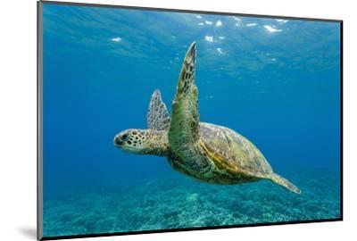 Green Sea Turtle (Chelonia Mydas) Underwater, Maui, Hawaii, United States of America, Pacific-Michael Nolan-Mounted Photographic Print