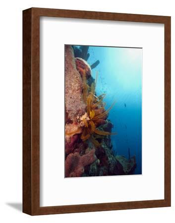 Reef Scene with Feather Star, Dominica, West Indies, Caribbean, Central America-Lisa Collins-Framed Photographic Print