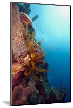 Reef Scene with Feather Star, Dominica, West Indies, Caribbean, Central America-Lisa Collins-Mounted Photographic Print