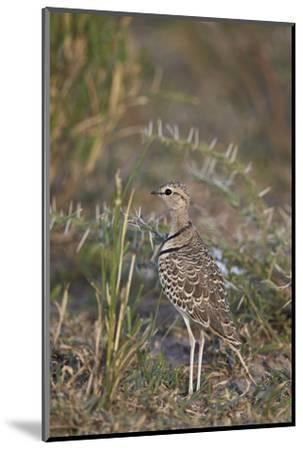 Two-Banded Courser (Double-Banded Courser) (Rhinoptilus Africanus)-James Hager-Mounted Photographic Print