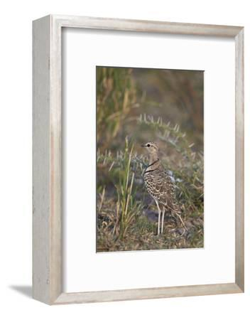 Two-Banded Courser (Double-Banded Courser) (Rhinoptilus Africanus)-James Hager-Framed Photographic Print