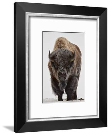 Bison (Bison Bison) Bull Covered with Frost in the Winter-James Hager-Framed Photographic Print