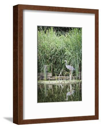 Grey Heron (Ardea Cinerea) by Waters Edge-Mark Doherty-Framed Photographic Print