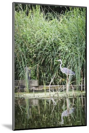 Grey Heron (Ardea Cinerea) by Waters Edge-Mark Doherty-Mounted Photographic Print