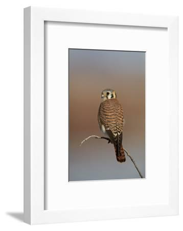 American Kestrel (Sparrow Hawk) (Falco Sparverius) Female-James Hager-Framed Photographic Print