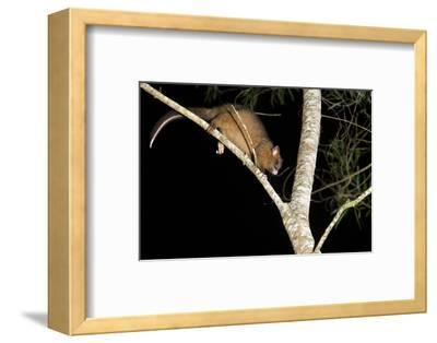 Coppery Brushtail Possum (Trichosurus Vulpecula Johnstonii)-Louise Murray-Framed Photographic Print