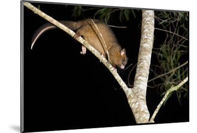 Coppery Brushtail Possum (Trichosurus Vulpecula Johnstonii)-Louise Murray-Mounted Photographic Print