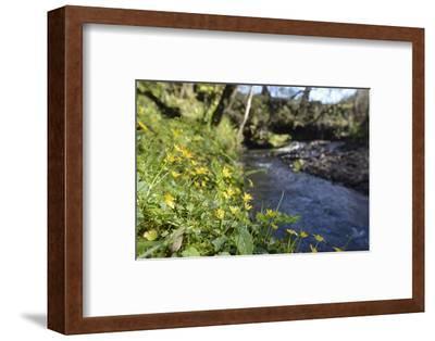 Lesser Celandines (Ranunculus Ficaria) Flowering on a Stream Bank in Woodland-Nick Upton-Framed Photographic Print