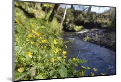 Lesser Celandines (Ranunculus Ficaria) Flowering on a Stream Bank in Woodland-Nick Upton-Mounted Photographic Print