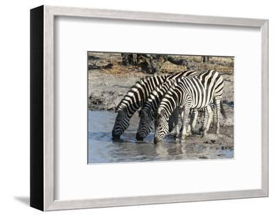 Burchell's Zebras (Equus Burchelli), Khwai Concession, Okavango Delta, Botswana, Africa-Sergio Pitamitz-Framed Photographic Print