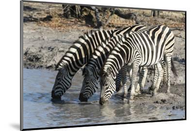 Burchell's Zebras (Equus Burchelli), Khwai Concession, Okavango Delta, Botswana, Africa-Sergio Pitamitz-Mounted Photographic Print