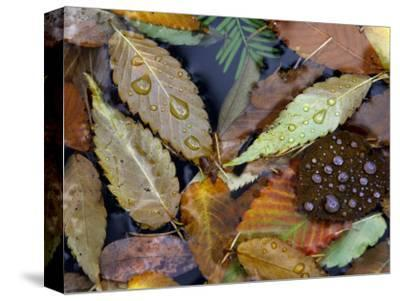 Autumn Leaves Float in a Pond at the Japanese Garden of Portland, Oregon, Tuesday, October 24, 2006-Rick Bowmer-Stretched Canvas Print