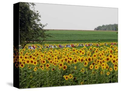 The Pack Rides Past a Sunflower Field During the Sixth Stage of the Tour De France--Stretched Canvas Print
