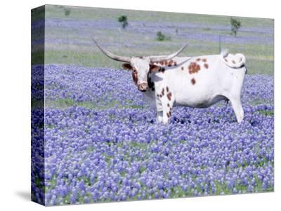 Longhorn Grazing on Bluebonnets, Midlothian, Texas-Pat Sullivan-Stretched Canvas Print