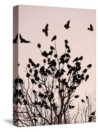 Crows Fly Over a Tree Where Others are Already Camped for the Night at Dusk in Bucharest Romania--Stretched Canvas Print