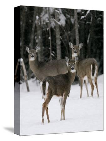 A Small Herd of White-Tailed Deer Wait at the Edge of the Woods--Stretched Canvas Print