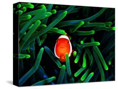 Clown Fish (Amphiprion Ocellaris)-Andrea Ferrari-Stretched Canvas Print