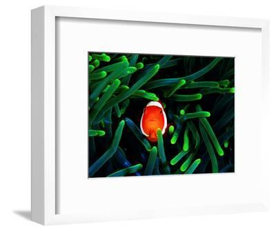 Clown Fish (Amphiprion Ocellaris)-Andrea Ferrari-Framed Premium Photographic Print