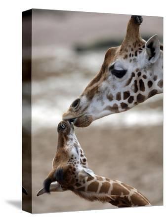 APTOPIX DEU Tiere Giraffenbaby-Kai-uwe Knoth-Stretched Canvas Print