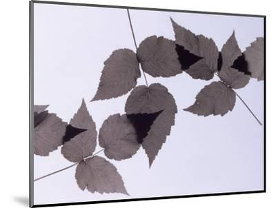 Backlit Leaves-Howard Sokol-Mounted Photographic Print
