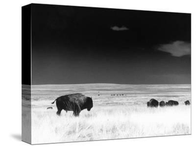 Buffalo Grazing, Buffalo Gap Nat Grassland, SD-John Glembin-Stretched Canvas Print