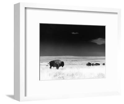 Buffalo Grazing, Buffalo Gap Nat Grassland, SD-John Glembin-Framed Premium Photographic Print
