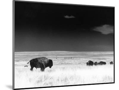 Buffalo Grazing, Buffalo Gap Nat Grassland, SD-John Glembin-Mounted Premium Photographic Print