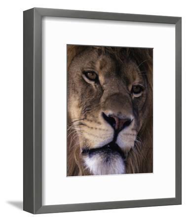African Lion, Panthera Leo-D^ Robert Franz-Framed Photographic Print