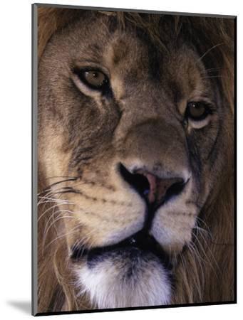 African Lion, Panthera Leo-D^ Robert Franz-Mounted Photographic Print