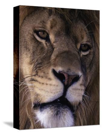African Lion, Panthera Leo-D^ Robert Franz-Stretched Canvas Print