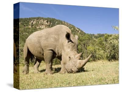 White Rhino, Breeding Animal for Introduction Eleswhere in Kenya, Kenya-Mike Powles-Stretched Canvas Print