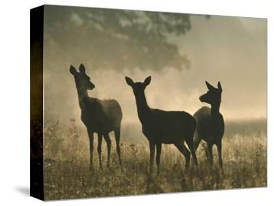 Red Deer Hinds-Mark Hamblin-Stretched Canvas Print