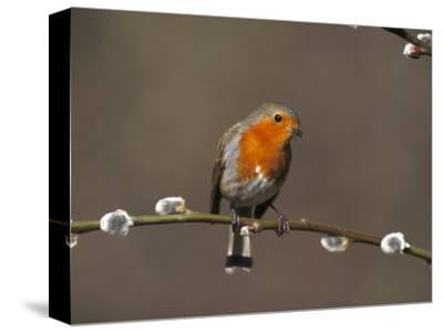 Robin, Perched on Pussy Willow, UK-Mark Hamblin-Stretched Canvas Print