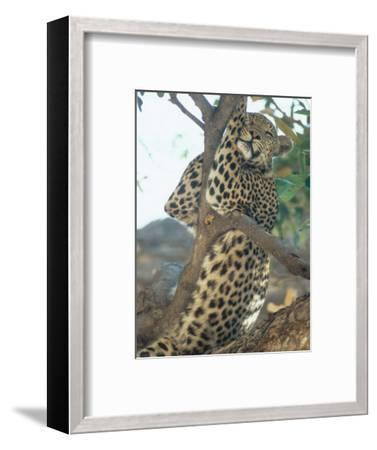 Leopard, Resting in Tree During Heat of the Day, Botswana-Richard Packwood-Framed Premium Photographic Print