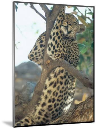 Leopard, Resting in Tree During Heat of the Day, Botswana-Richard Packwood-Mounted Premium Photographic Print