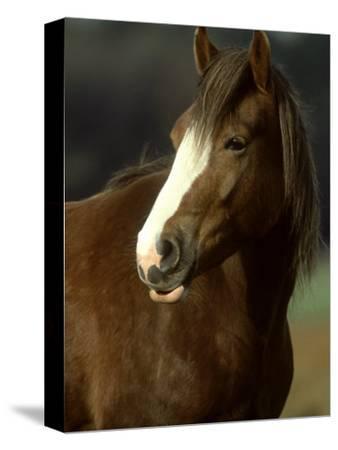 Horse, Chestnut & White Portrait-Mark Hamblin-Stretched Canvas Print